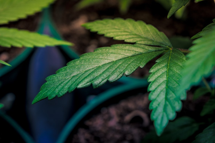 Medicinal plant at early stages of growth